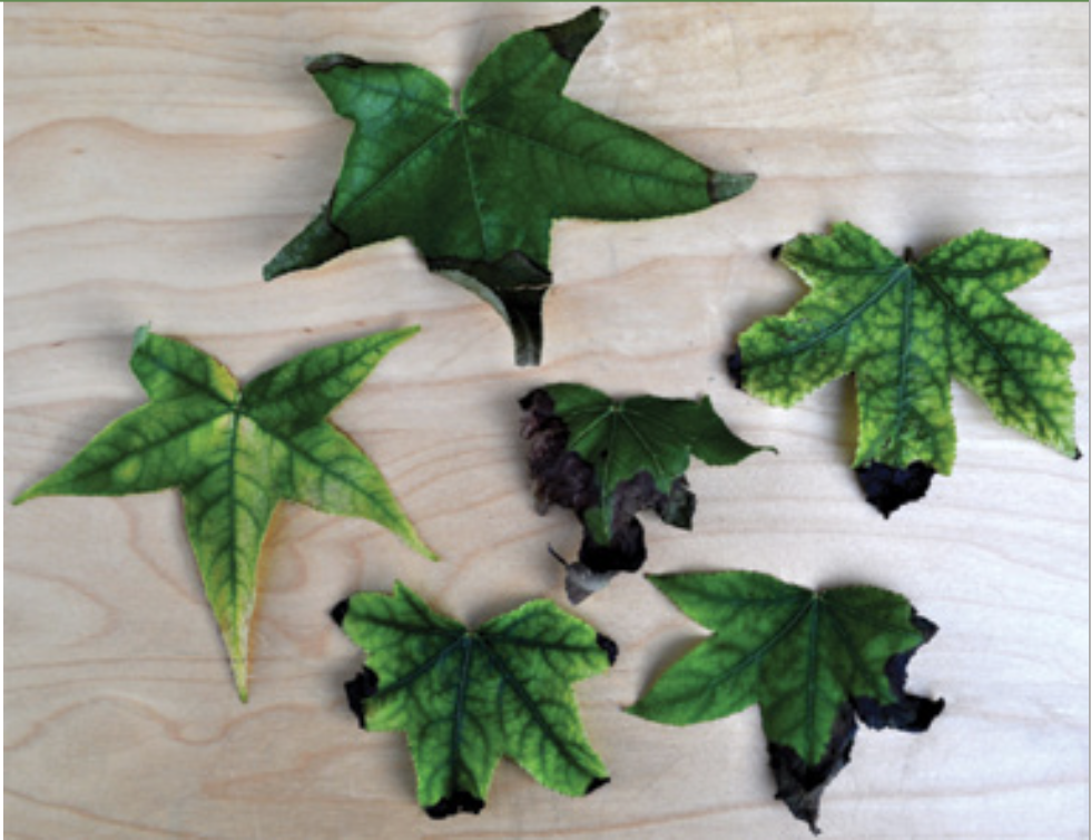 FIG 2. Marginal scorch of the leaf tips and edges caused by vascular disfunction