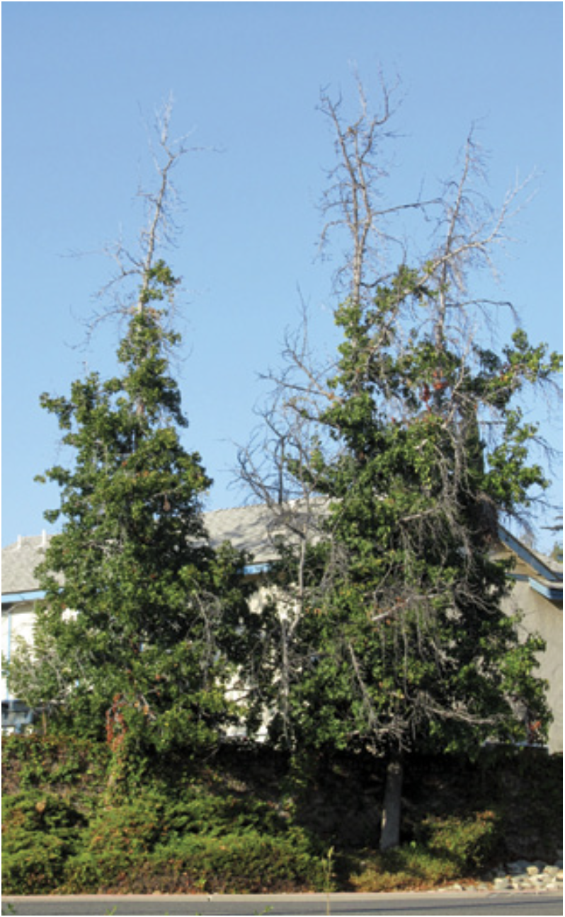 FIG 1. Trees decline by death of individual branches.